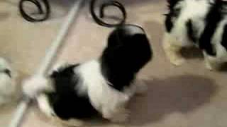 Download shih tzu puppies barking and playing.. Video