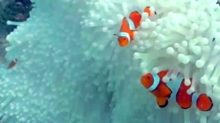 Download Australian Broadcasting on Great Barrier Reef Bleaching 2016 Video