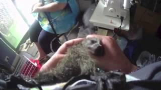 Download Baby bat starting to enjoy cuddles: Miss Megabytie is calming down Video