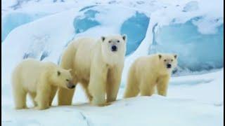 Download Polar bear sledging   Wildlife Specials   BBC Video