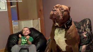 Download Un Pitbull Gigante llamado Hulk de 175 lb y cachorros de $ 500 000 00 Video
