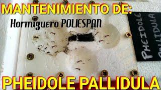 Download El Hormiguero Pheidole pallidula tras 1 mes mantenimiento limpiar caja de forrajeo - MUNDO HORMIGAS Video