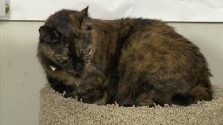 Download Cats Fighting With New Cats: How to Control Aggressive Behavior : Cat Care Tips Video