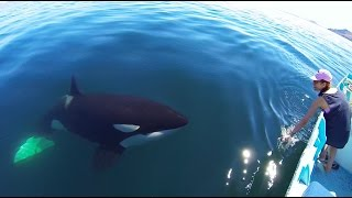 Download Unique Orca encounter in the Sea of Cortez...Bahia de los Angeles, Mexico. Video