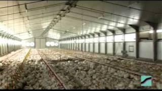 Download Broilers on floor - SPEROTTO SPA.mpg Video