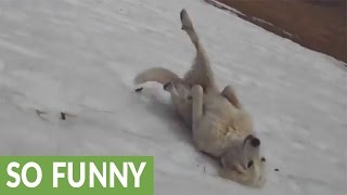 Download Dog repeatedly slides down icy hill Video