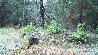 Download Female Mountain Lion Screaming for mates in front of trail camera Video