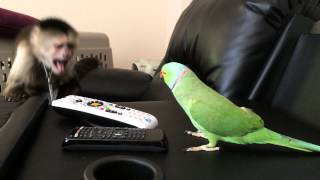 Download Max the Capuchin Monkey and Coco the Talking Indian Ringneck Parakeet (Parrot) Video