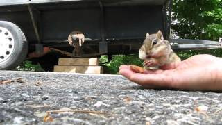 Download Adorable chipmunk stuffs cheeks with almonds Video