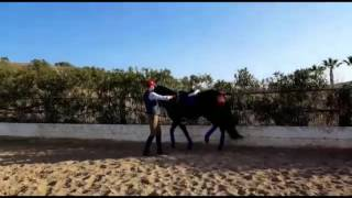 Download FARAON - Ayala stallion dressage and high school for sale - TBSH Video