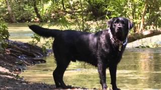 Download Colors & Types of Labrador Retrievers : Dog Care Tips Video
