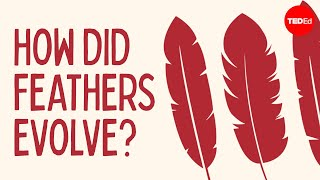 Download How did feathers evolve? - Carl Zimmer Video