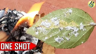 Download Best Pest Control Method + 6 Ways to Eliminate Aphids MealyBugs with Organic Pesticides Video