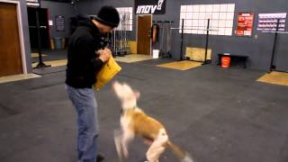 Download Wallace the Pit Bull Plays Fetch with Mark Buehrle Video
