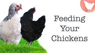 Download Backyard Chicken Keeping - Ep. 6: What to Feed Your Chickens Video