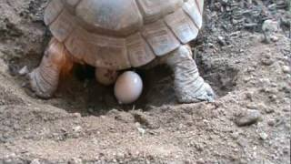 Download Tortoise Laying Eggs Video