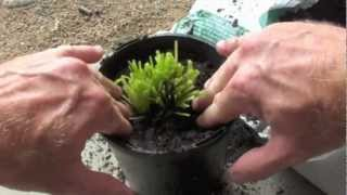 Download HOW TO REGROW HERBS FROM A SUPERMARKET Video