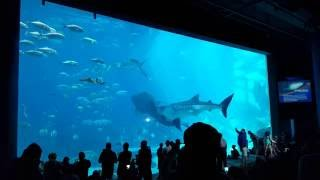 Download Two Whale Sharks Swim into Each Other at Georgia Aquarium Video