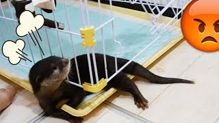 Download 【全力阻止】自分の部屋(ケージ)を死守するカワウソのビンゴ(Otter Bingo try his best to stop us from cleaning his territory) Video