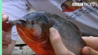 Download Fishing for Red Bellied Piranha | Ultimate Killers | BBC Video