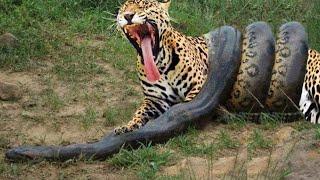 Download Anaconda Gigante VS Onça Pintada - Píton VS Leopardo - LUTA INCRÍVEL Video