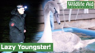 Download LAZY Young Swan just fancied a 5* overnight stay! Video