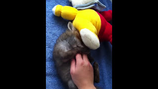 Download Baby fox loves belly rub Video