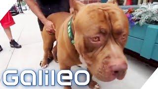 Download Der größte Pitbull der Welt | Galileo | ProSieben Video