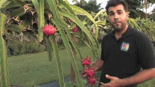 Download Dragon Fruit - Tropical Fruit Growers of South Florida Video