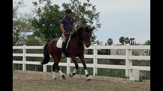 Download HOW TO DEVELOP A STEADIER CONTACT ON A YOUNG HORSE Video