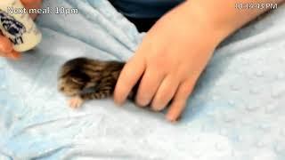 Download Kitkat Playroom: Gatitos bottle feeding on their first night Video