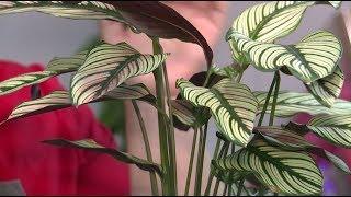 Download ″Удачная среда″ - ухаживаем за аглаонемой и калатеей (Бийское телевидение) Video