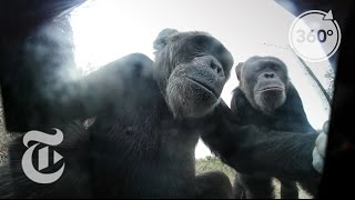 Download Selfie Lessons From A Chimp (She Stole Our Camera) | The Daily 360 | The New York Times Video