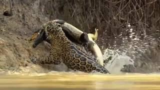 Download Jaguar vs croco combat à mort!!! incroyable!! Video