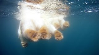 Download GoPro: Polar Bears - The Quest for Sea Ice Video