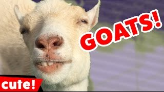 Download Funny Goat Videos Compilation 2016 | Kyoot Animals Video