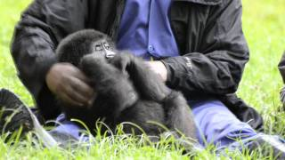 Download Lucky Ihirwe, the Rescued Baby Mountain Gorilla Video