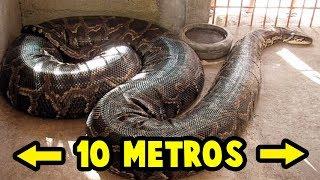 Download TOP: Las 5 Serpientes Más GRANDES Del Mundo Video