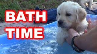 Download Labrador / Golden retriever puppy first bath Video