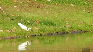 Download นกกระยางขี้ขโมย กับ พ่อชะโดหวงลูก..ใครจะพลาดท่ามาดูกัน Video