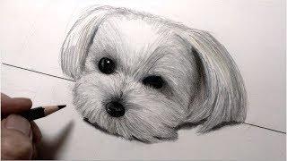 Download 犬を描いてみた 色鉛筆画 マルチーズが机にアゴを乗っける編 Video