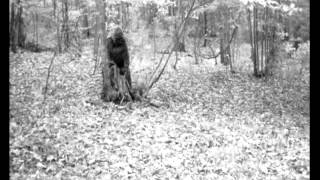 Download Clear Image Bigfoot Captured on Game Camera at Greenbrier Sporting Club Breakdown Video