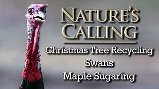 Download Nature's Calling - Christmas Tree Recycling, Swans, Maple Sugaring (Jan 2017) Video