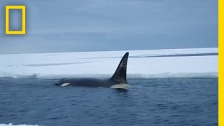 Download Eyes on Orcas | Continent 7: Antarctica Video