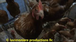 Download morning routine feeding chickens & ducks Video
