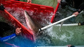 Download How Do You Move a Shark? It's Complicated | NYT Video