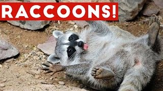 Download Funniest Raccoon Video Compilation of 2017 | Funny Pet Videos Video