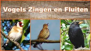 Download Vogels Zingen en Fluiten Video