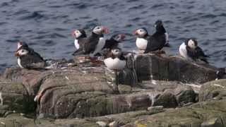 Download Puffin-cam: Live from the burrow Video