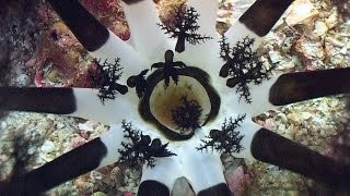 Download Worms and Sea Cucumbers - Reef Life of the Andaman - Part 23 Video